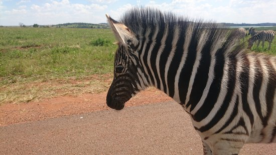Rietvlei Nature Reserve: This baby zebra came to our car, letting us touch him and wouldn't let us leave.