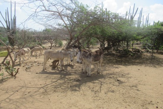 Donkey Sanctuary Aruba : Donkey Sanctuary