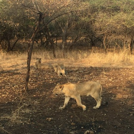 Gir National Park and Wildlife Sanctuary: Lions