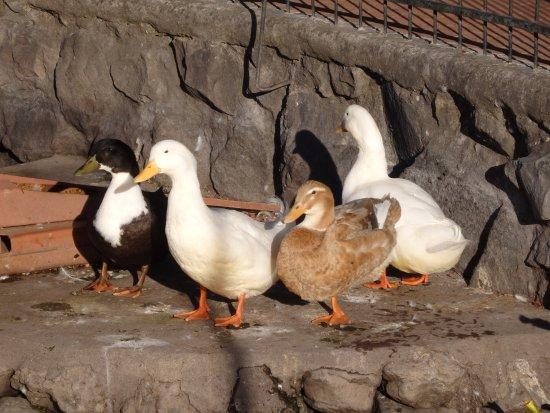 San Pablo Del Lago, Ecuador: Los patos al borde del lago, Hotel Cabañas del Lago