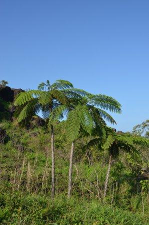 Koroyanitu National Heritage Park : Ferntrees