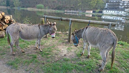 Staufenberg, Alemania: Pferdeanbindebalken des Fuldagarten. Hier: Testtiere Esel  ;-)
