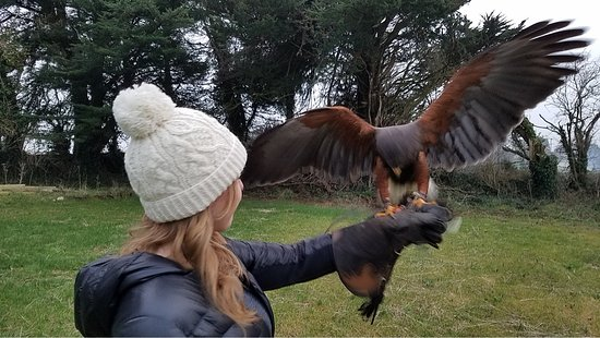 Kilmacthomas, Ирландия: Holly the Harris Hawk