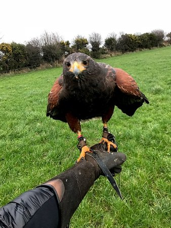Kilmacthomas, Irlandia: Holly the Harris Hawk