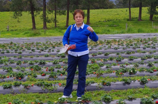 Dapto, Australia: Pick as many strawberries as you wish at your own pace