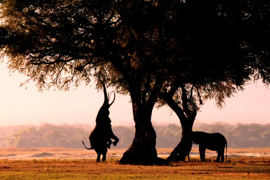 Mana Pools National Park, Zimbabwe: Boswell, best known for standing on his hind legs and reaching into a tree for a snack!