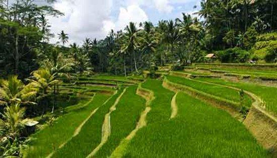 Jatiluwih Rice Terrace Bali Subak Unesco World Heritage Picture Of