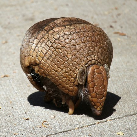 Apple Valley, MN: Southern 3-Banded Armadillo