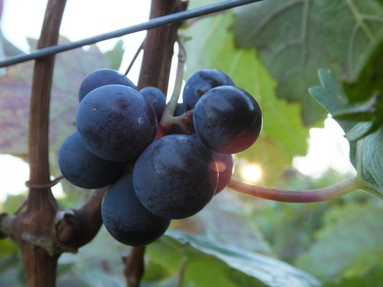 Marchesi Vineyards : Sweet!