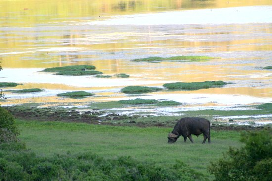 Marsabit National Reserve, Kenya: Cape buffalo beside Crater Lake