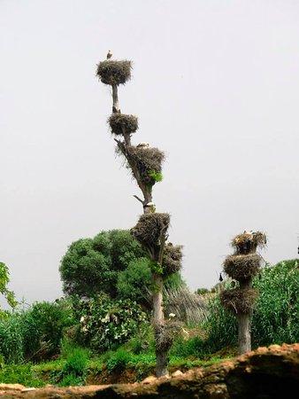 الدار البيضاء, المغرب: Stork neasts at Chellah