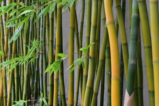 Andaz Napa In Back Of The Hotel Stands A Bamboo Garden With Trees
