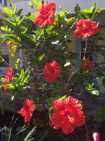 Tropic Terrace of Treasure Island: Step outside room #5 & see Vibrant flowering Hibiscus trees right outside room #5's unit, poolsi