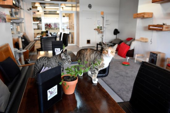 ‪Neko Ngeru Cat Adoption Cafe‬