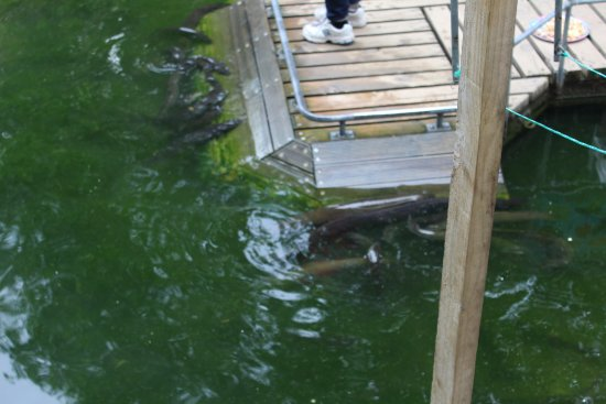 Motupiko, Nowa Zelandia: tame eels