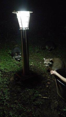 Les Bananes Vertes: Visite de ratons laveurs dans le jardin