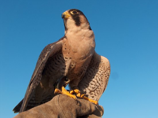 Live Oak, Флорида: Anubis the barbary falcon