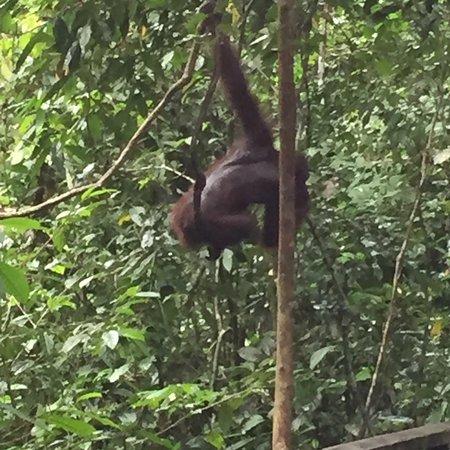 Sepilok Orangutan Sanctuary