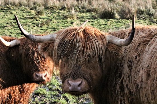 Aros, UK: Highland cows.are just lovely.