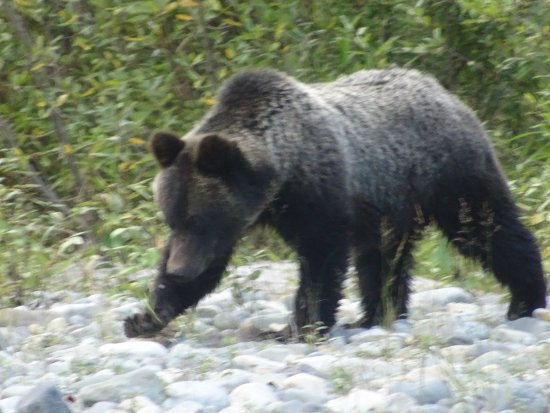 Pemberton, Canadá: Grizzly Bear Viewing in Bella Coola BC