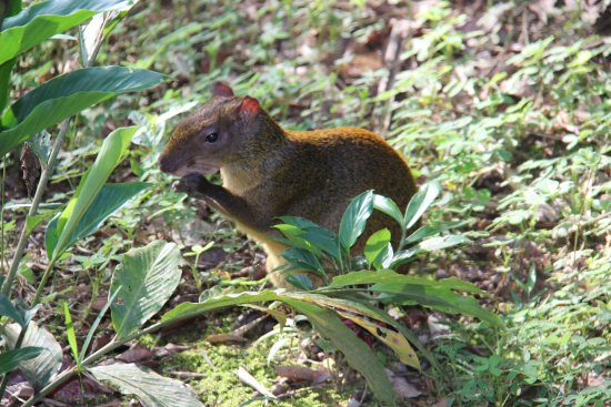 Refugio Amazonas: a rather large rodent (aguti?) eating breakfast