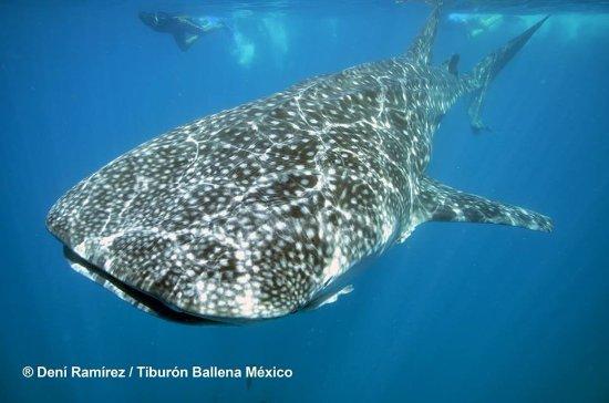 Whale Shark Mexico