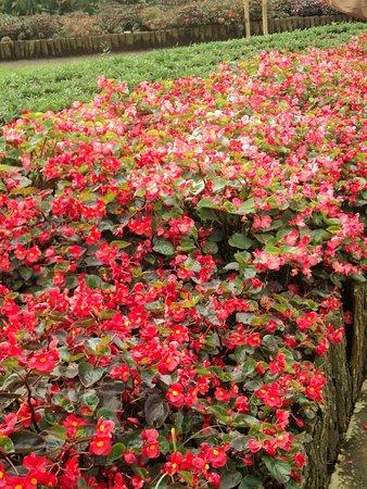 Purbalingga, อินโดนีเซีย: bunga begonia yang merah dominan diantara bunga lainnya di Kutabawa Flower Garden