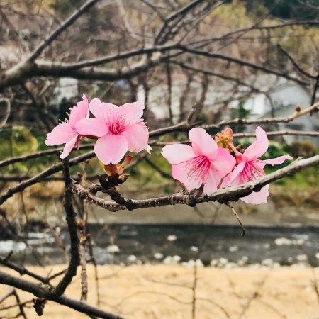 Kawazu Zakura (Kawazucho) : 櫻花3