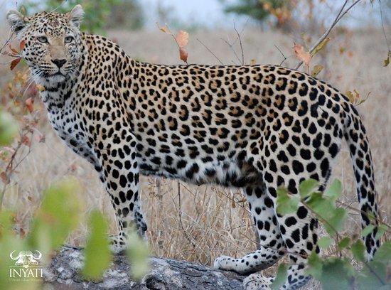 Inyati Private Game Reserve, แอฟริกาใต้: See spots in the Sabi Sand #inyatisafari