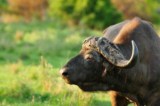 Inyati Private Game Reserve, แอฟริกาใต้: Authentic African Safari