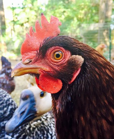 Newfane, VT: One of our chickens!