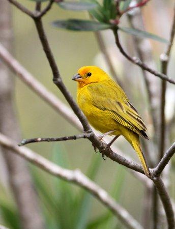 Saffron Finch, Puembo Birding Garden