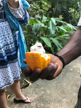 Israel King Water Taxi  Private Tours: Cocoa in its raw form