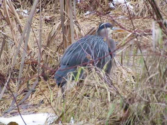 Nanaimo, Canada: Blue Heron Buttertubs Marsh January 2018