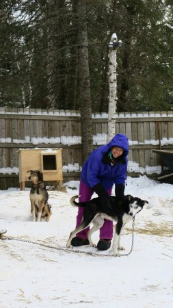 Ely, Μινεσότα: Dog Sledding with Chilly Dogs