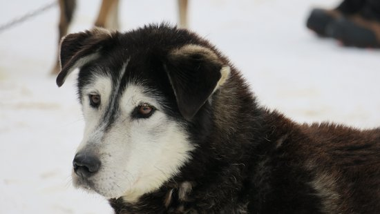 Ely, MN: Dog Sledding with Chilly Dogs
