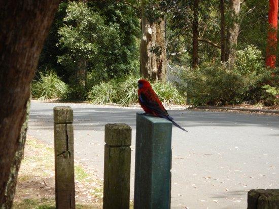 Mount Dandenong, Austrália: Local Wildlife - Crimson Rosella