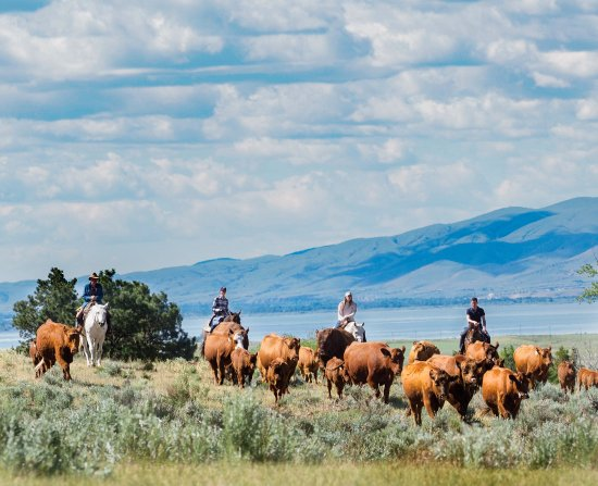 Townsend, MT: Help us trail the cattle from pasture to pasture