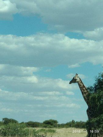 Mafikeng Game Reserve: Amazing sky and mellow giraffe