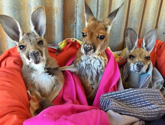 Alice Springs, Australia: Kangaroo Sanctuary