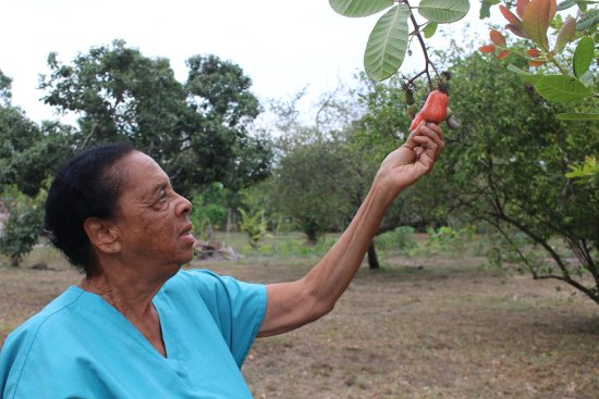 Crooked Tree, Belize: Mrs. Vange takes a cashew