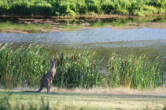 Cedars Mount View: Kangaroo by the dam