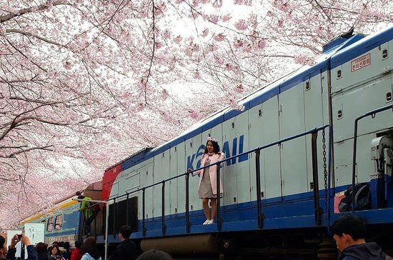 Jinhae Cherry Blossom Festival 1 Day Tour from Seoul