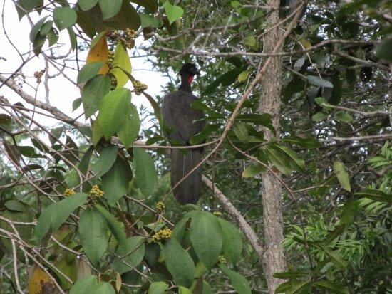 Hidden Valley Inn & Reserve: Crested Guan, seen on walk on Hidden Valley property