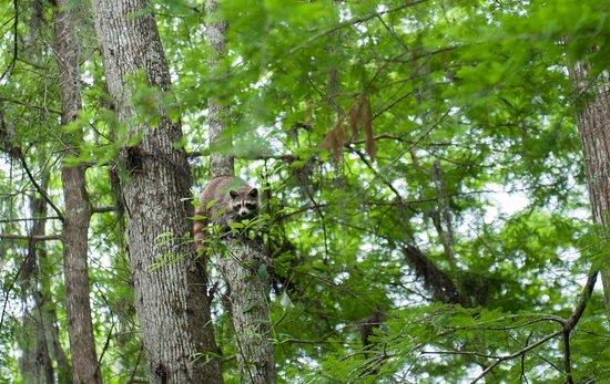 Slidell, LA: Spotting native wildlife from a Honey Island Swamp Tour.