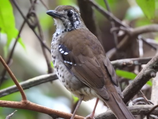 Southern Province, ศรีลังกา: Spot-winged thrush (endemic)