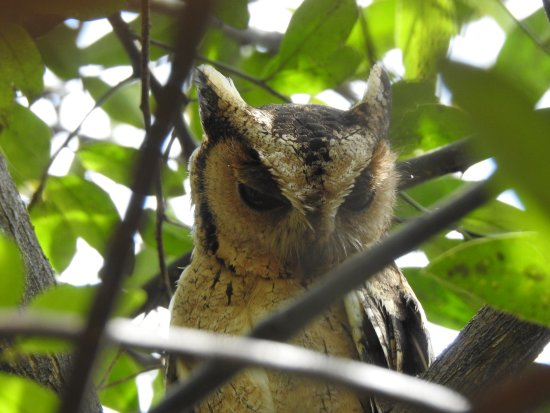 Provincia Sur, Sri Lanka: Scops Owl