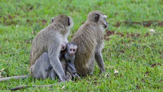 Ilala Lodge Hotel: Vervet monkeys