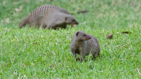 Ilala Lodge Hotel: Banded mongoose