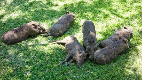 Ilala Lodge: Warthogs relaxing